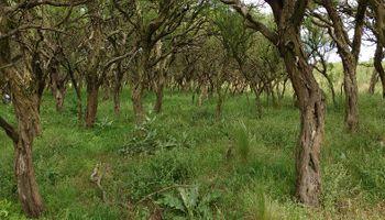 El INTA investigó el avance del chañar, un árbol que invade a campos de San Luis