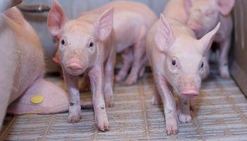 Argentina y Noruega trabajan en una vacuna contra la brucelosis porcina