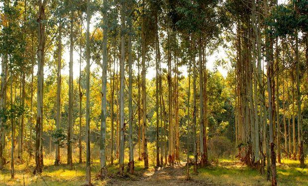 Comenzaron con Eucaliptus en Entre Ríos.