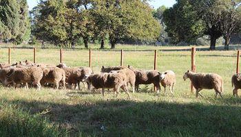 Santa Fe dispuso créditos de hasta $ 500.000 para el desarrollo de la actividad ovina