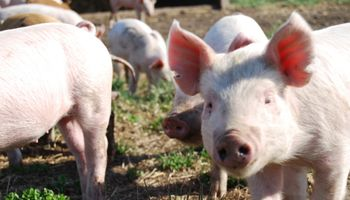 Importación de carne de cerdo danesa