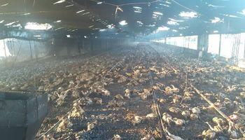 Establecimiento avícola sufrió un incendio y perdió casi 20 mil pollos
