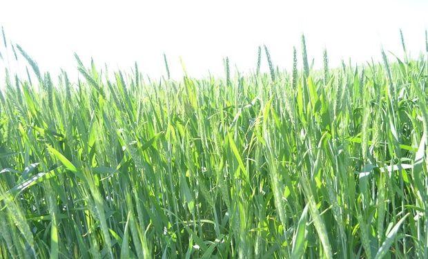 El trigo es un cultivo clave para el suelo.