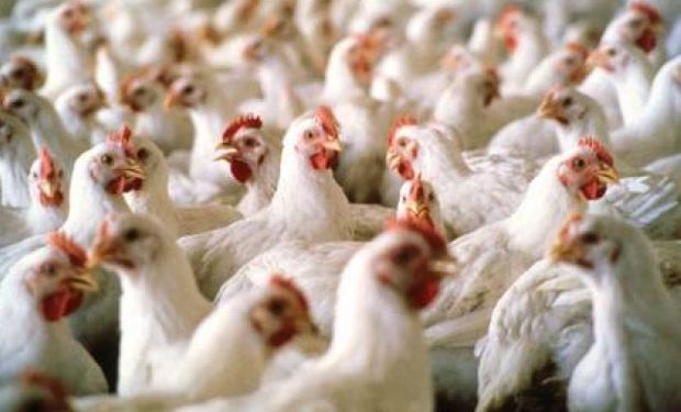 """Luego del récord de producción y exportaciones exhibido en 2013 (tras crecer interrumpidamente en los últimos 10 años), """"la avicultura argentina exhibe una coyuntura desfavorable en sus principales indicadores."""