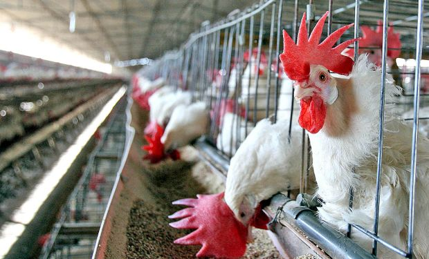 En la Argentina nunca se detectaron casos en aves domésticas industriales ni de traspatio.