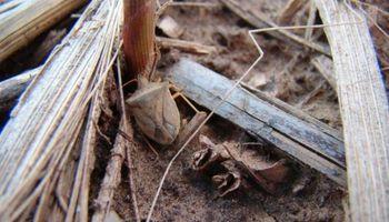 Pulgones en trigo y chinche marrón en maíz: recomiendan seguir con atención los insectos
