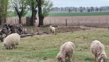 Inseguridad: carnearon 7 ovejas a punto de parir en la Escuela Agraria de Chascomús