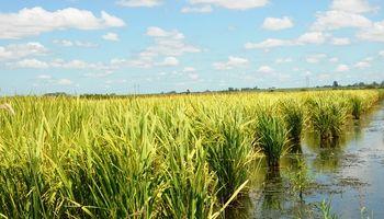 Cómo detener el avance del entorchamiento del arroz, una enfermedad viral que hace estragos