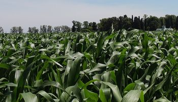 Entre Ríos: alertan sobre el avance de tizón foliar en maíces tardíos