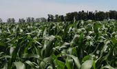 Los cultivos tardíos presentan muy buenas condiciones en el centro y norte de Santa Fe