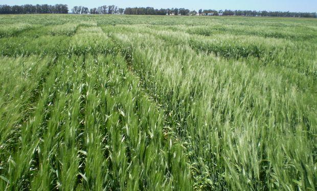 Tras las lluvias, el trigo eleva su proyección a 20,5 millones de toneladas y el maíz gana terreno