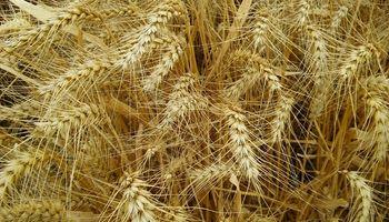 Trigo: la zona núcleo se prepara para un nuevo récord de siembra