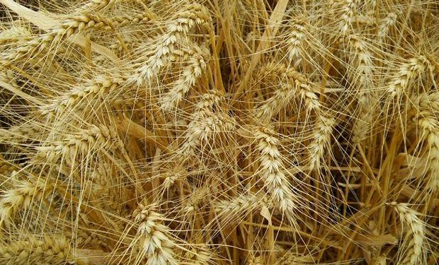La tercera parte del trigo argentino saldría de la región núcleo.