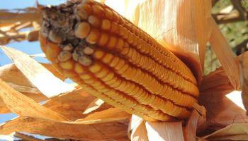 Por qué es tan importante el momento de la cosecha de maíz tardío