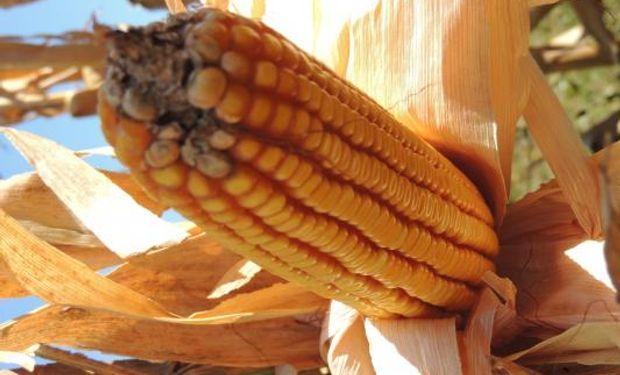 El INTA Oliveros evaluó el impacto del momento de cosecha sobre el margen bruto y la rentabilidad de maíces tardíos.