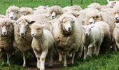 Buenos Aires financiará proyectos productivos ovinos a tasa cero: cómo inscribirse