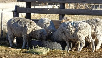Agroindustria apuesta a la producción ovina en Chaco