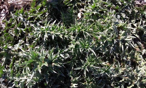 Carduus acanthoides: nuevo caso de resistencia a herbicidas.