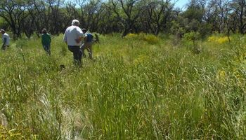 Detectan gramínea tóxica en pastizales de La Pampa