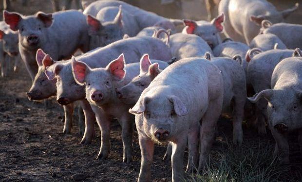 """Más allá de las mega inversiones chinas, aseguran que el sector porcino """"no tiene techo"""""""