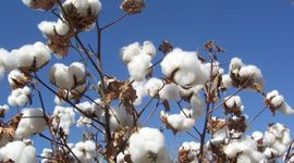 Con una estimación de 200 mil hectáreas de algodón, Chaco busca recuperar el liderazgo