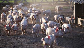 Invierten más de 4 millones de pesos para impulsar un clúster porcino