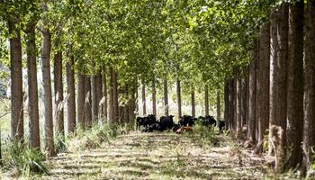 Tener hacienda bajo sombra de árboles permite un diferencial de 4,2 kilos por animal