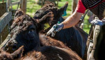 Laboratorios apuestan a la eficiencia en reproducción bovina