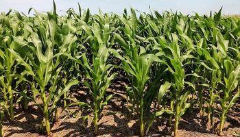 Las lluvias redujeron el daño en los cultivos y el maíz solo perdió 2 millones de toneladas de producción