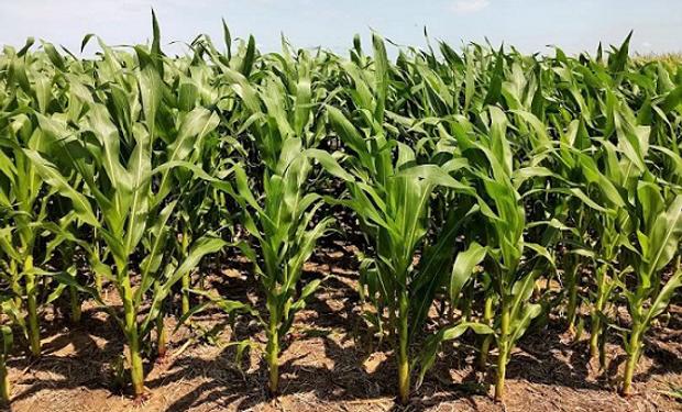 ¿Está barata la bolsa de maíz? Aconsejan no demorar la compra de semilla