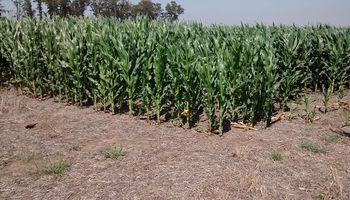 El maíz corta una racha de tres subas consecutivas en Chicago