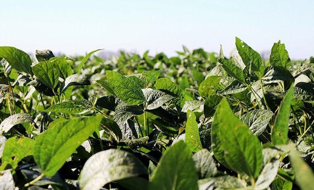 El 95 % de la soja de primera se encuentra en estado bueno a muy bueno en el centro y norte de Santa Fe