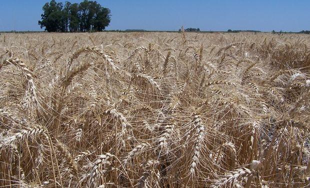 El trigo argentino logró una huella de carbono por debajo de los valores internacionales