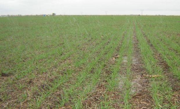 Más allá de la condición agronómica, la mayor intención de trigo no alcanzó para dinamizar el valor de los alquileres (La Voz).