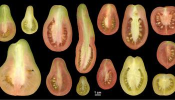 Descubren un mecanismo genético responsable de controlar la forma de los frutos
