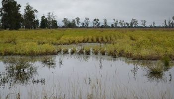 Los excesos hídricos del norte le restan 100.000 hectáreas más al girasol