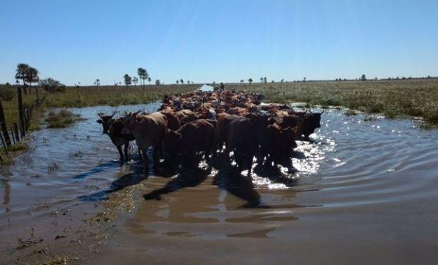 Alertan que podrían morir hasta 120.000 vacas por las inundaciones.