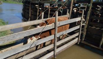 Productores ya sacan el ganado de las islas