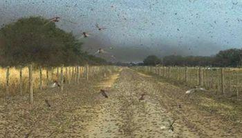 """Invasión de langostas: """"Es una plaga muy compleja"""""""