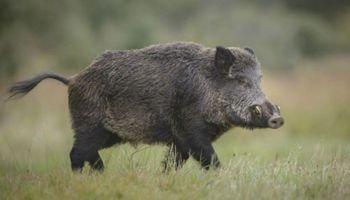 ¿Puede llegar la Peste Porcina a América?