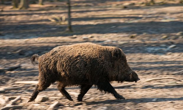 """Preocupación en Alemania por nuevos casos de peste porcina africana: """"La producción no está afectada"""""""