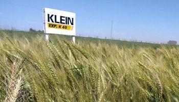 Selenio CL: la nueva variedad de trigo que lanzó Klein