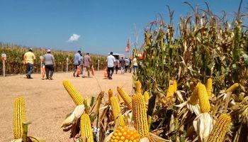 Estabilidad y Sanidad: el mejoramiento genético del maíz se muestra a campo