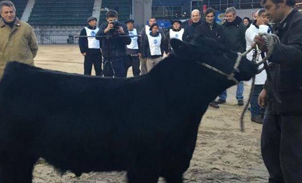 Bautista, el primer animal en ingresar a La Rural en 2016.