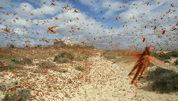Senasa: habilitaron el uso de insecticidas para combatir la plaga de langostas