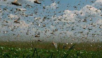 Ordenan fumigar en Chaco tras detectar huevos de langostas