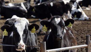 Uruguay: la faena de vacas lecheras sigue alta