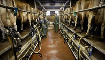 Uruguay: mayor descarte eleva la faena de vacas lecheras