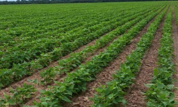 Instituto de Investigación Animal del Chaco Semiárido (IIACS) del INTA –Tucumán– presentó cinco nuevos cultivares de porotos de diferentes tipos comerciales.