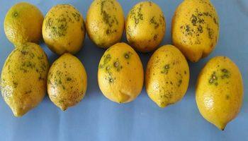 Cómo detectar y evitar la enfermedad que suspendió la exportación de limones a Europa
